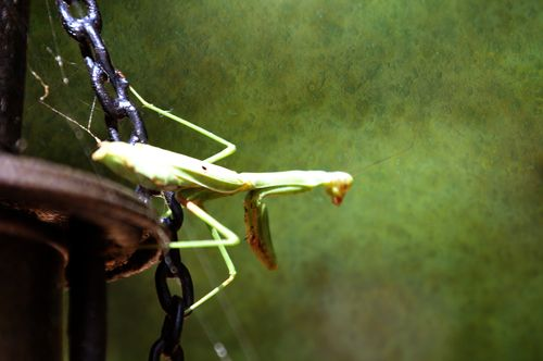 PrayingMantis_9503