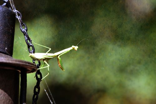 PrayingMantis_9507